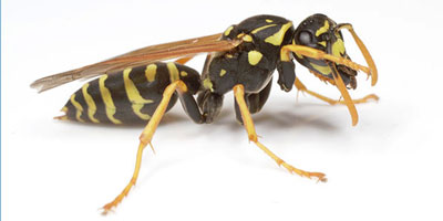 Bild einer Wespe